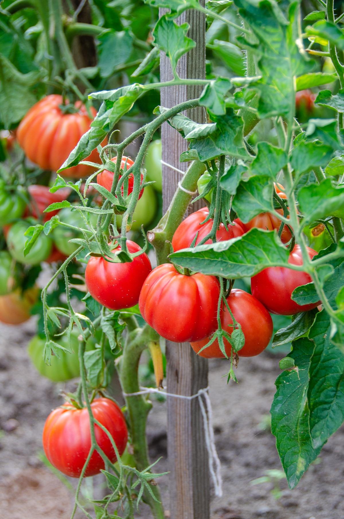 pomidorowy na krzaku
