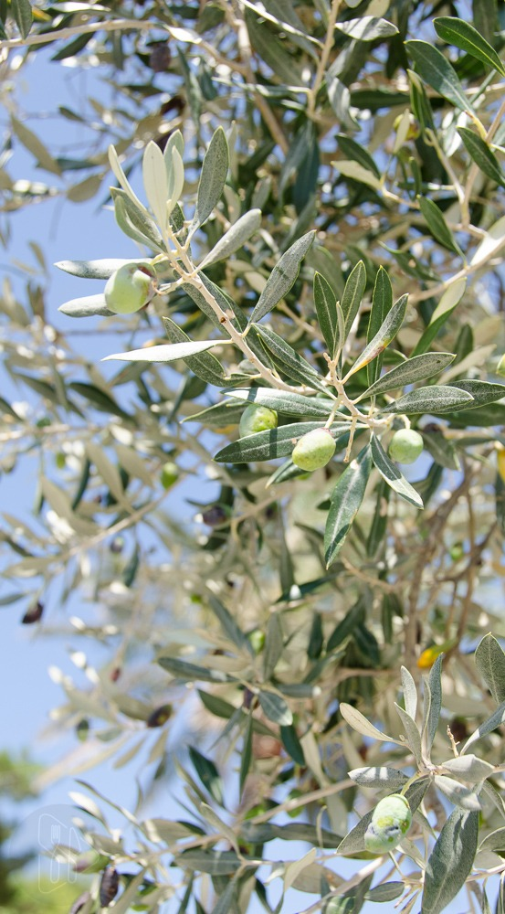 Ciabatta z oliwa