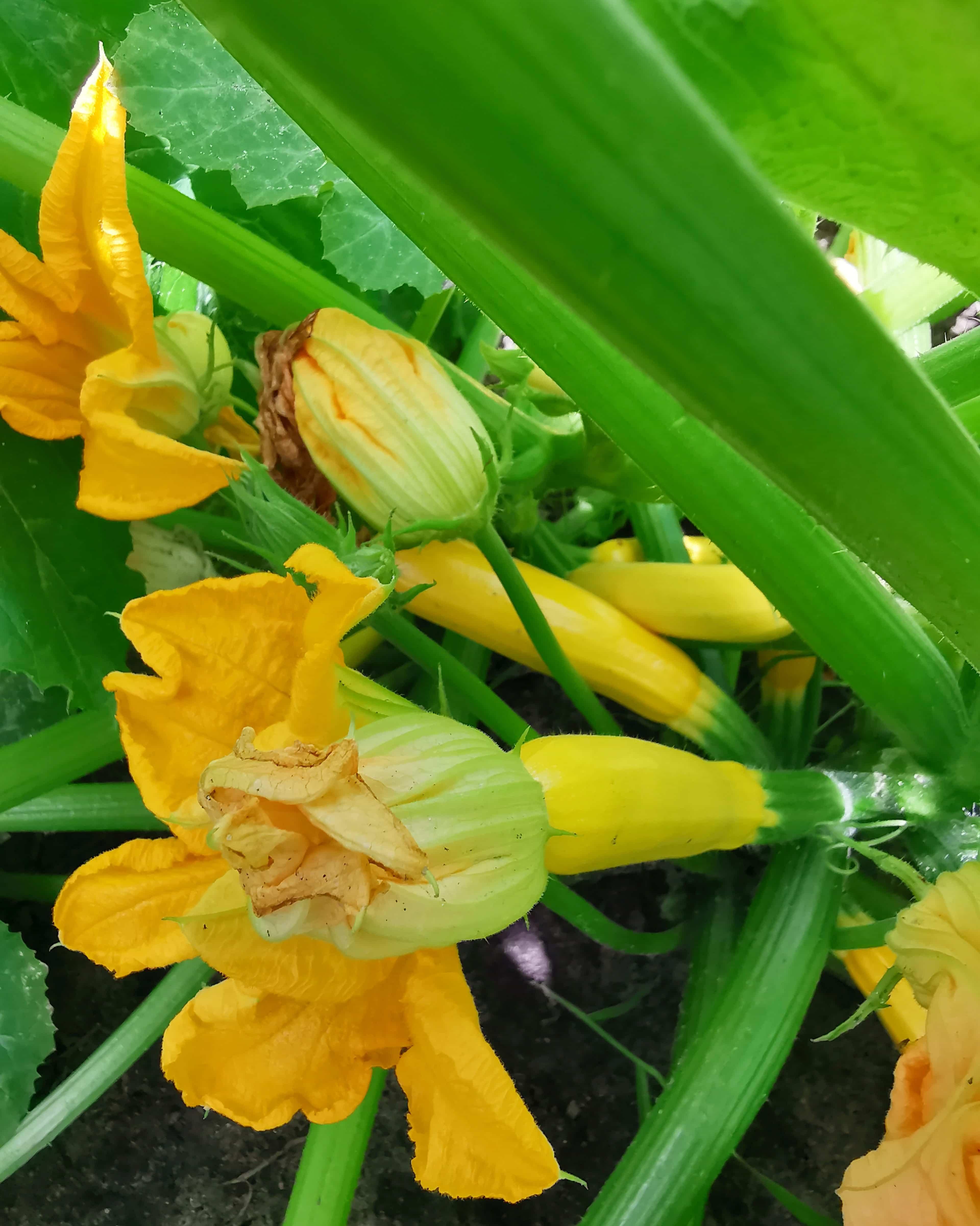młoda cukinia z kwiatami na krzaku